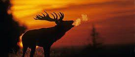 Brame du cerf en forêt de Rambouilet